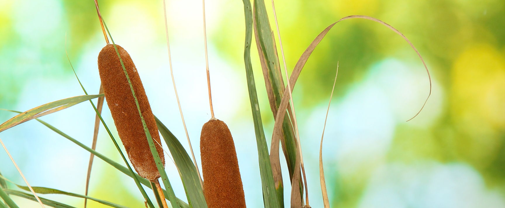 Photo of cattails in natural light
